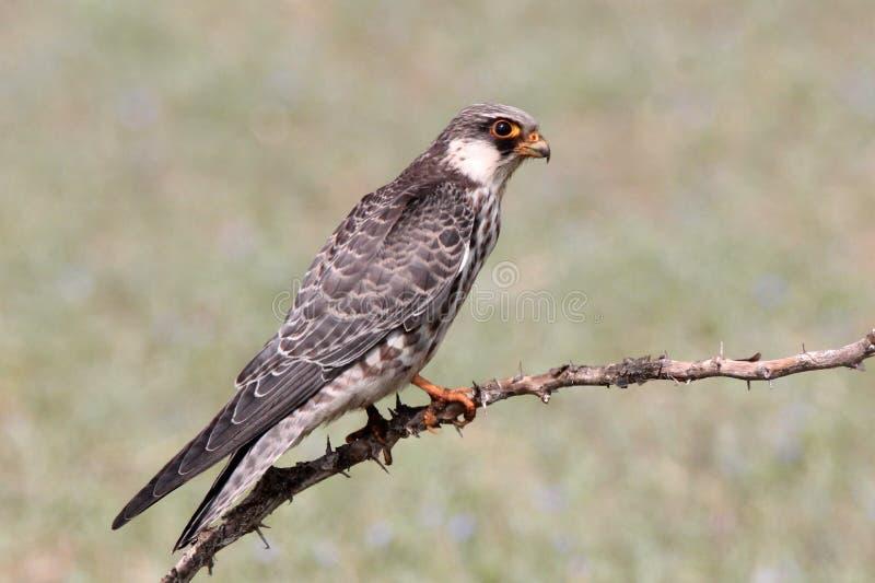 Le faucon d'Amur est un petit rapace de la famille de faucon Il multiplie en Sibérie et Chine du Nord du sud-est avant d'émigrer  photos libres de droits