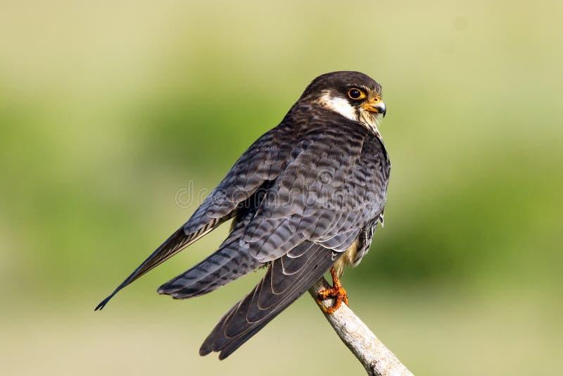 Le faucon d'Amur est un petit rapace de la famille de faucon Il multiplie en Sibérie et Chine du Nord du sud-est avant d'émigrer  image stock