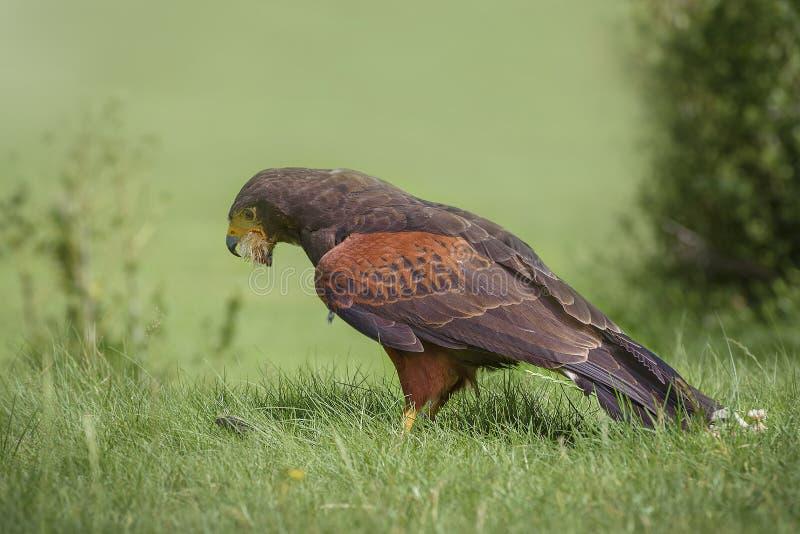 Le faucon de Harris, le faucon baie-à ailes ou le faucon sombre, un oiseau de proie moyennement grand mange un poussin images stock