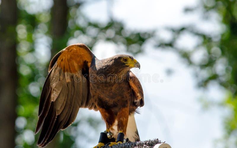 Le faucon de Harris se repose sur sa perche avec les ailes répandues images stock