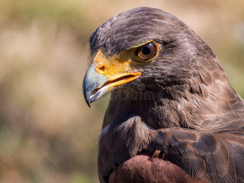 Le faucon de Harris (unicinctus de Parabuteo) photos stock