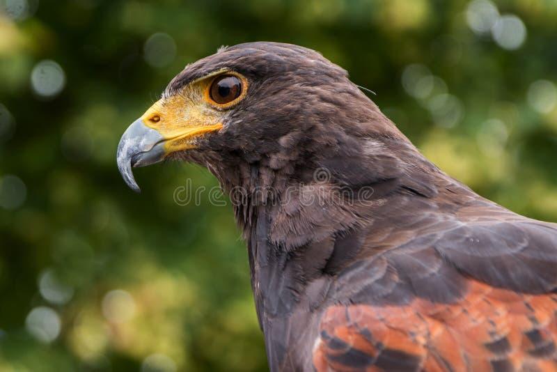 Le faucon de Harris (unicinctus de Parabuteo), portrait de profil du Bi photographie stock