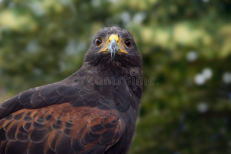 Le faucon de Harris (unicinctus de Parabuteo), portrait frontal du Bi photographie stock