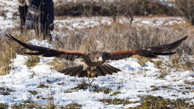 Le faucon de Harris volant près de la terre image libre de droits