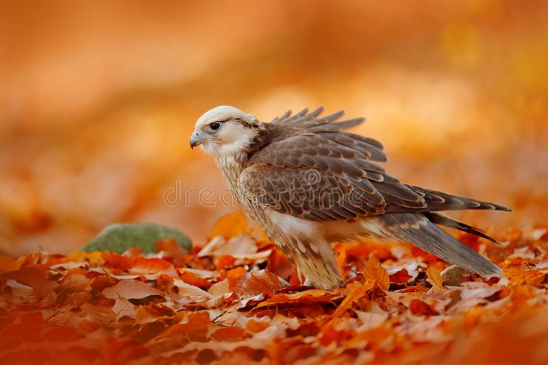 Le faucon de Lanner, biarmicus de Falco, oiseau de l'Afrique de la proie rare avec l'orange laisse la branche dans la forêt d'aut photo libre de droits