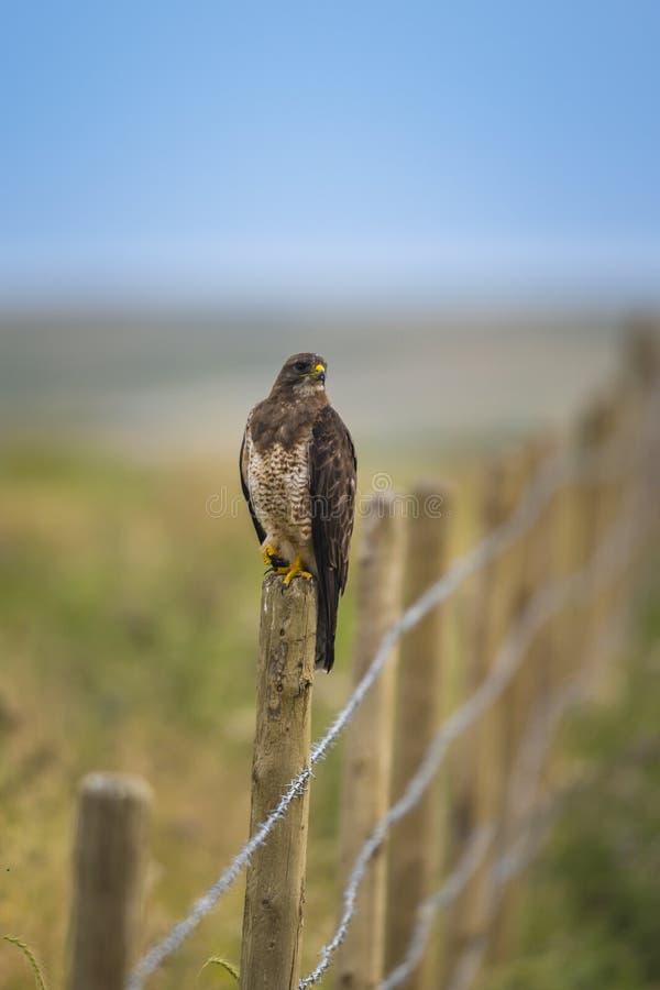 Le faucon de Swainson (swainsoni de Buteo) photo libre de droits