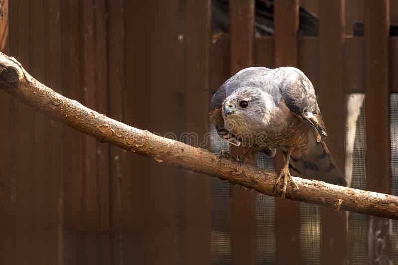 Le faucon du ` s de tonnelier était perché sur une branche image stock