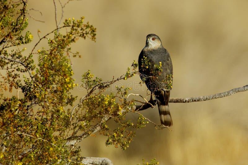 Le faucon du tonnelier photo stock