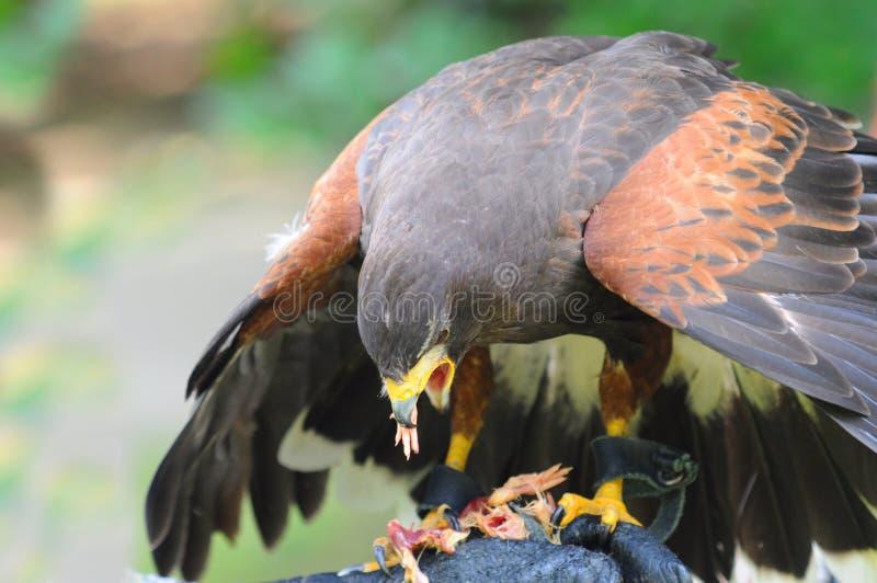 Le faucon mangent de la viande photo stock