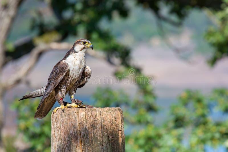 Le faucon pérégrin qualifié se repose sur le poteau en nature images libres de droits