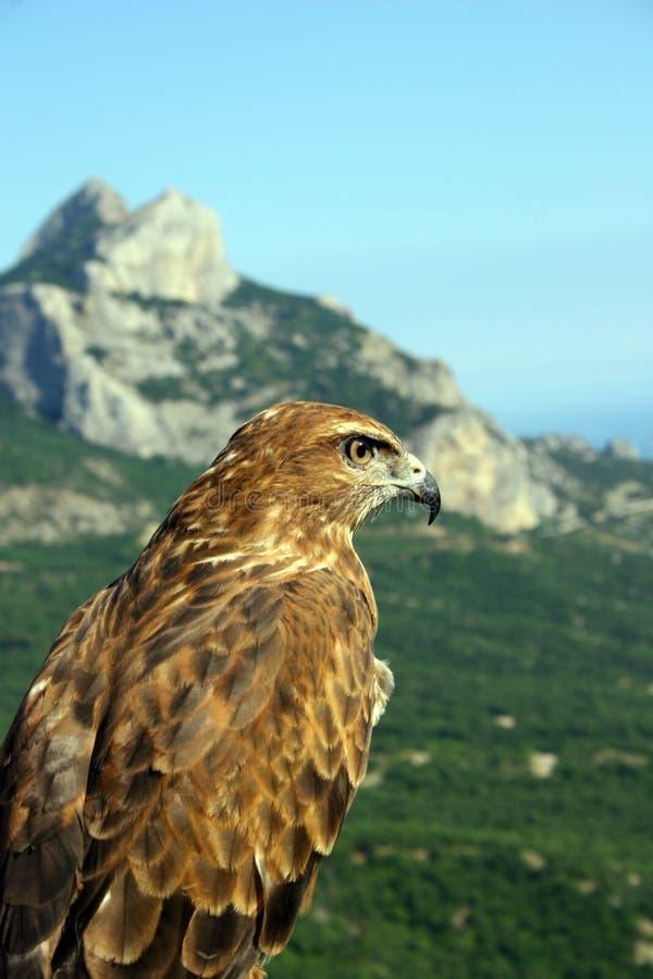 Le faucon regarde à l'extérieur pour l'extraction, se reposant en fonction à photo libre de droits