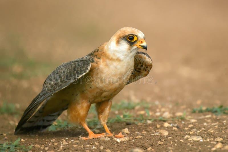 le faucon Rouge-aux pieds se tient sur la terre et répandre ses ailes prêtes à voler photo stock