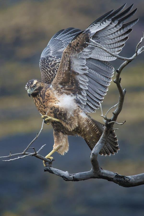 Le faucon sèche ses ailes sur une branche dans le Patagonia photographie stock libre de droits