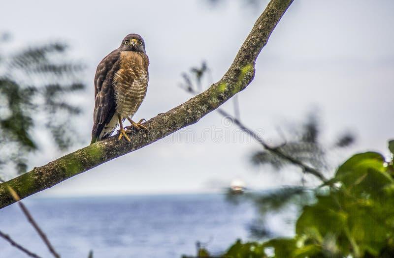 Le faucon s'est arrêté photos libres de droits