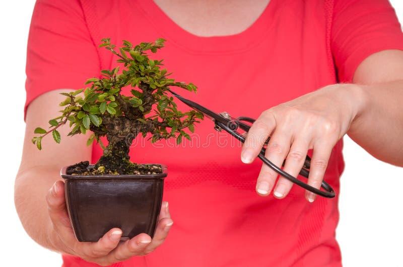 Le femme coupe un arbre de bonzaies images libres de droits