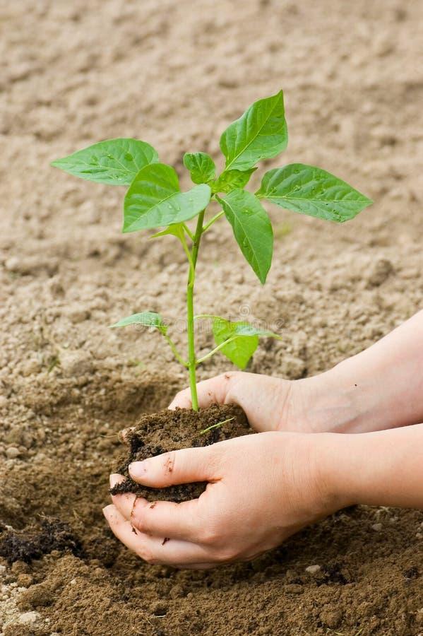 Le femme met une plante dans la terre images libres de droits