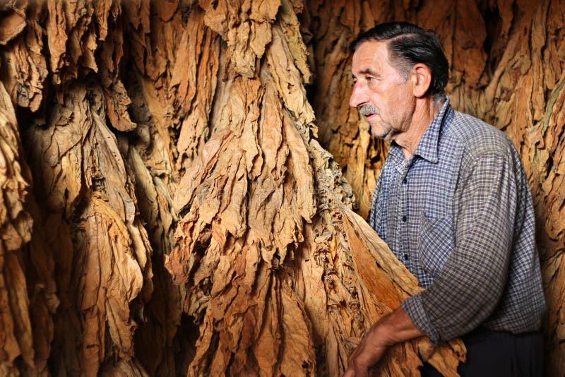 Le fermier contrôle la lame sèche de tabac photos libres de droits