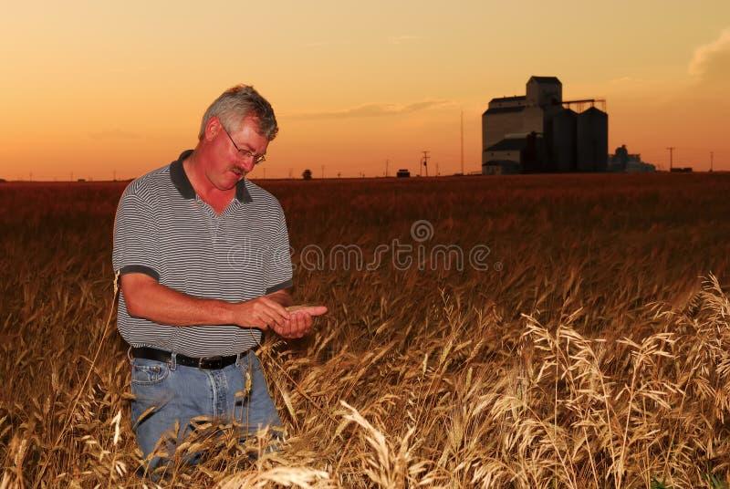 Le fermier examine le froment dur photographie stock