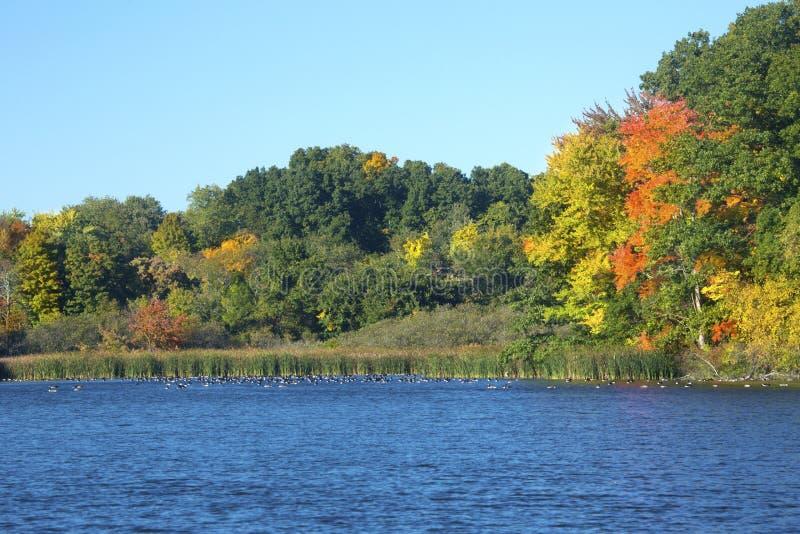 Le feuillage d'automne et les oies sur le moulin s'accumulent, le Connecticut photos stock