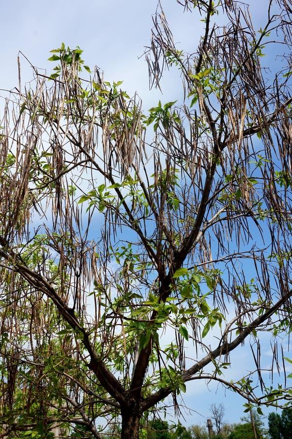 Le feuillage et l'arbre couronnent le ` de catalpa de ` contre le ciel bleu photo stock