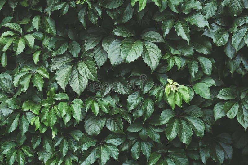 Le feuillage vert-foncé, vert part du fond, modèle, texture photographie stock