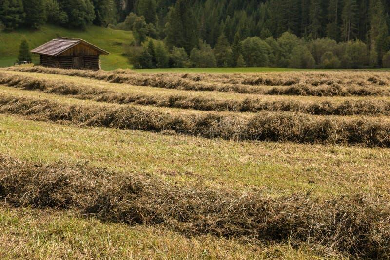Le file di erba di secchezza rivoltano il fieno con il granaio di legno immagini stock
