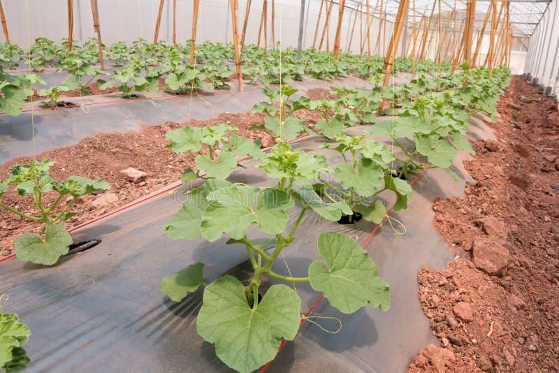 Le file di giovane melone pianta la crescita nella scuola materna grande della pianta immagine stock