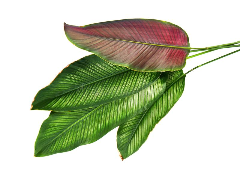 Le filet Calathea d'ornata de Calathea part, feuillage tropical d'isolement sur le fond blanc image libre de droits