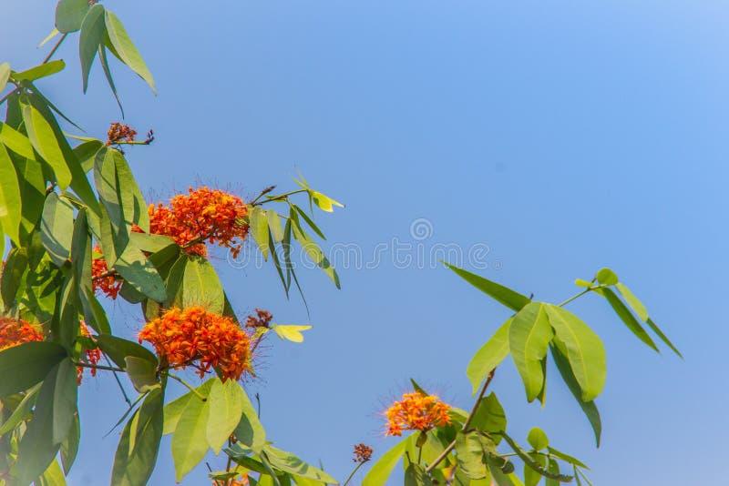 Le fioriture arancio e gialle variopinte del asoca di Saraca (Saraca Linn indica) fiorisce sull'albero Saraca Linn indica anche c fotografie stock