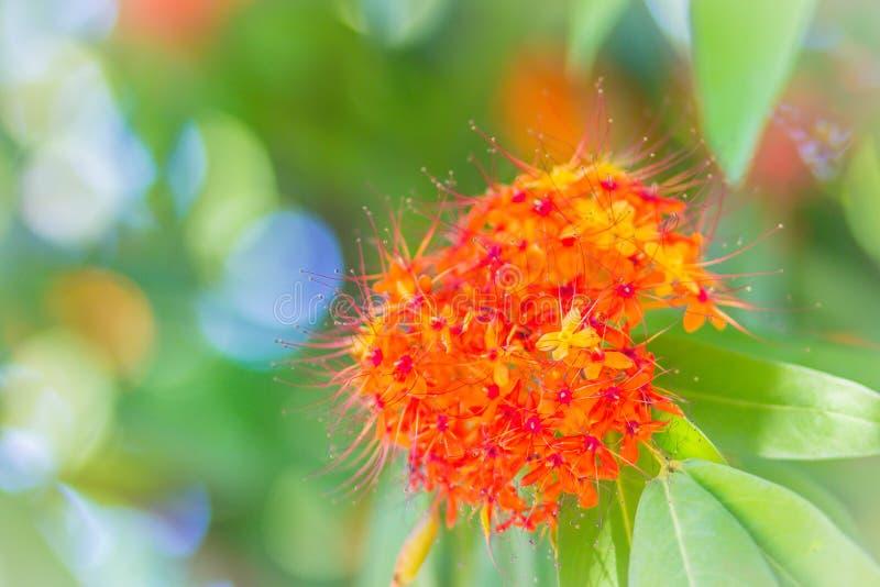 Le fioriture arancio e gialle variopinte del asoca di Saraca (Saraca Linn indica) fiorisce sull'albero Saraca Linn indica anche c fotografia stock