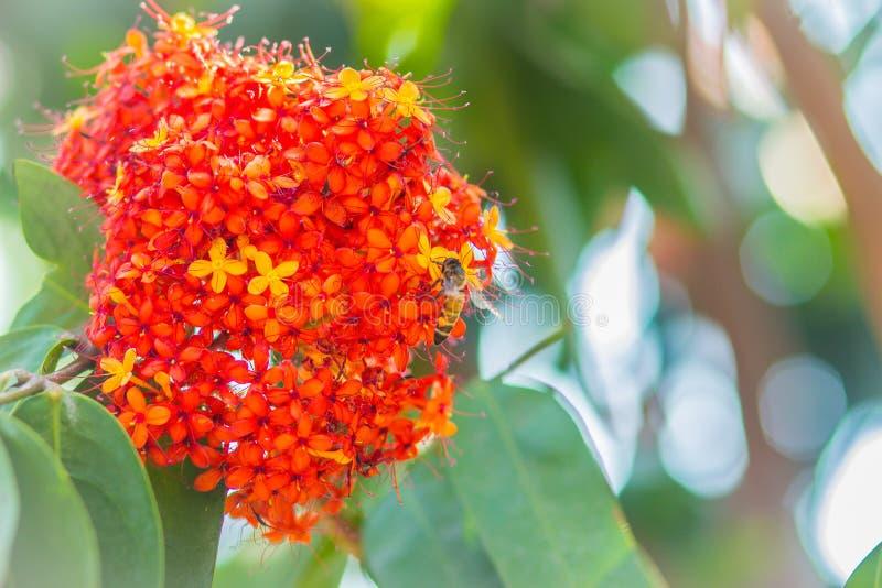 Le fioriture arancio e gialle variopinte del asoca di Saraca (Saraca Linn indica) fiorisce sull'albero Saraca Linn indica anche c fotografia stock libera da diritti
