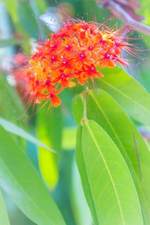 Le fioriture arancio e gialle variopinte del asoca di Saraca (Saraca Linn indica) fiorisce sull'albero Saraca Linn indica anche c immagini stock