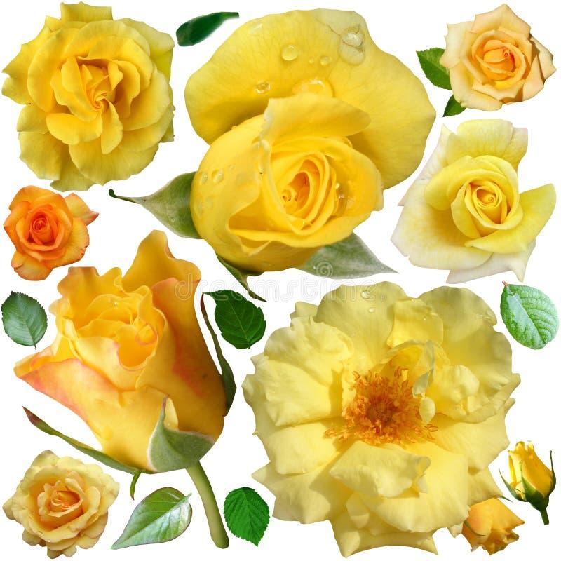 Le fioriture delle rose gialle isolate sopra fondo bianco immagini stock libere da diritti
