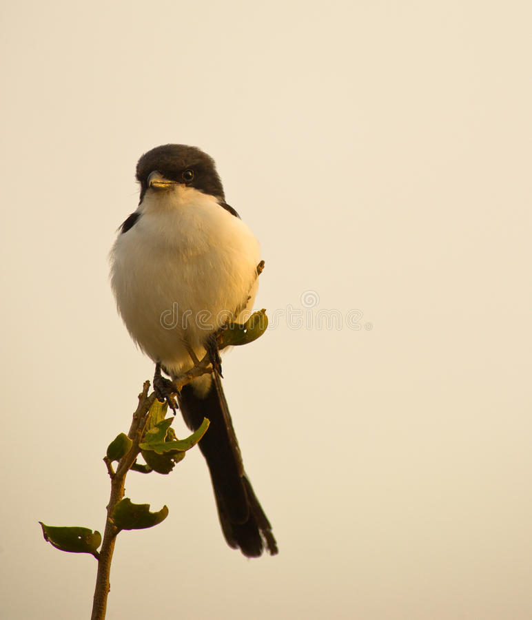 Le fiscal Long-tailed photo stock