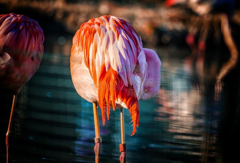 Le flamant chilien se tient dans l'eau et sa tête est cachée dans les plumes Repos le fond est l'eau bleue pure photographie stock libre de droits