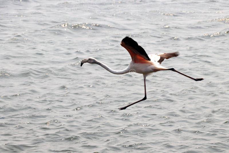 Le flamant commence à piloter - la Namibie - la Namibie Afrique photos stock
