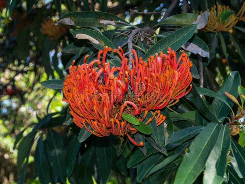 Le flammeum d'Alloxylon, généralement connu sous le nom de waratah d'arbre du Queensland ou chêne soyeux rouge avec sa fleur de f photographie stock