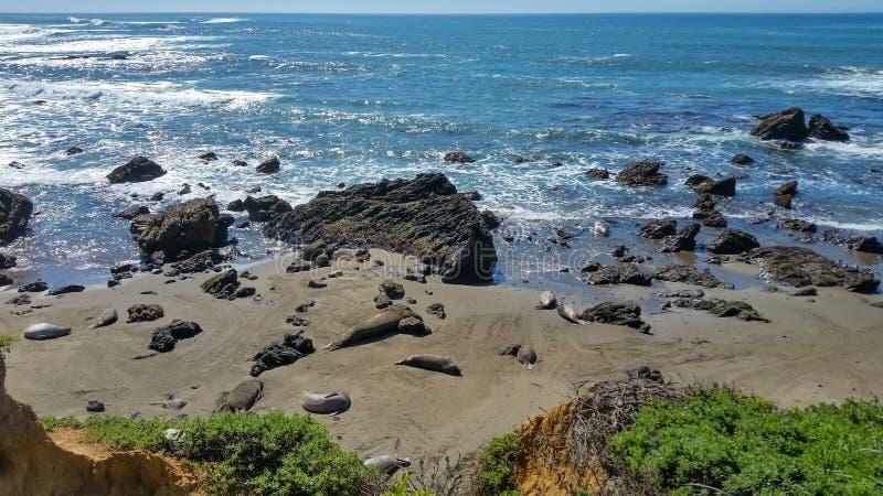 Le foche selvatiche che dormono sulla spiaggia rocciosa fotografia stock