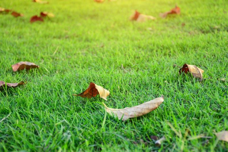 Le foglie appassite cadono sull'erba verde fresca fotografia stock