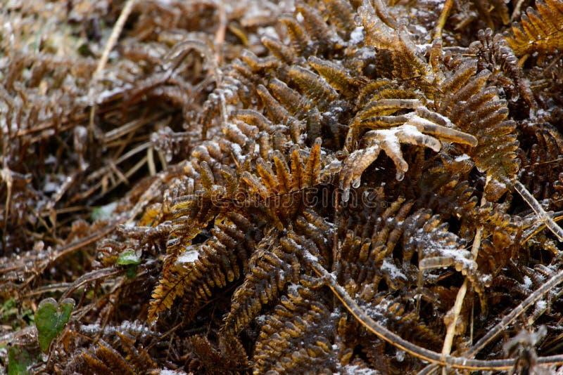 Le foglie appassite delle piante sono coperte di ghiaccio e di gelo nell'inverno fotografia stock