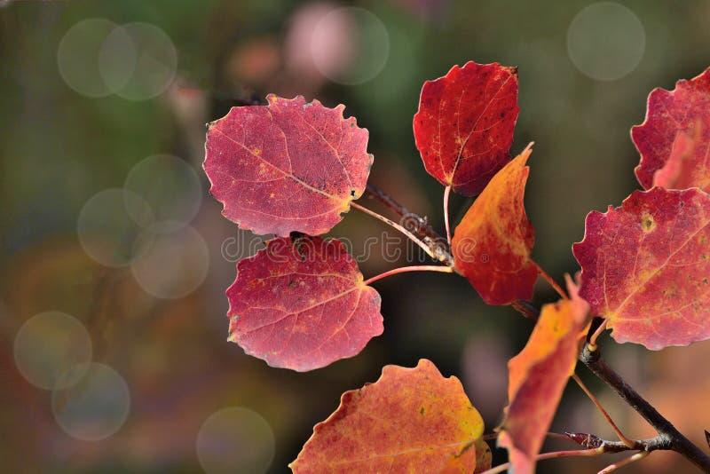 Le foglie autunnali variopinte luminose della tremula si ramificano su backgroun scuro immagini stock