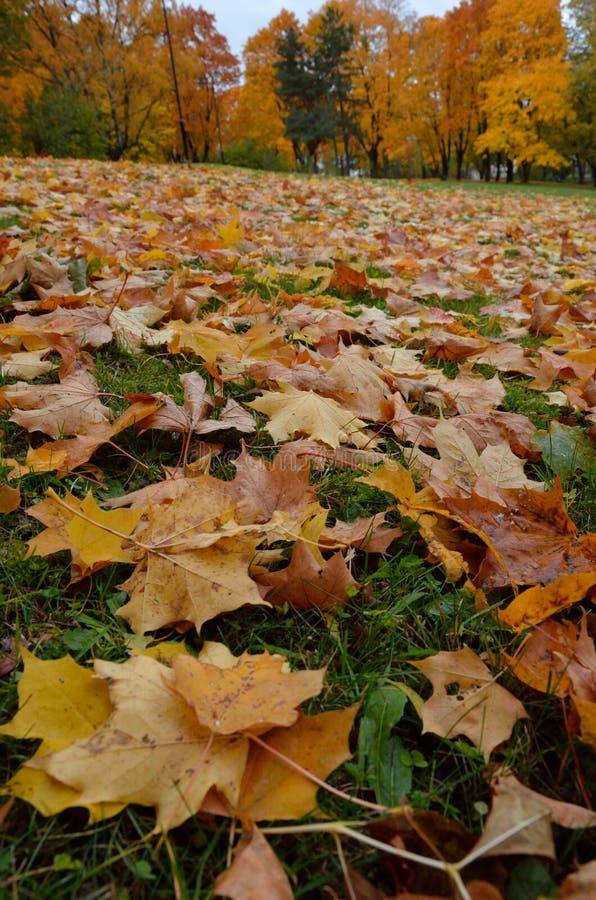 Le foglie cadute autunno si trovano sull'erba verde fotografia stock libera da diritti