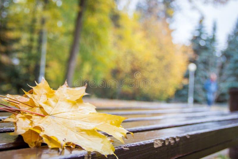 Le foglie cadute dorate bagnate vibranti dell'acero con i waterdrops su un brench di legno marrone in autunno parcheggiano Alberi immagini stock