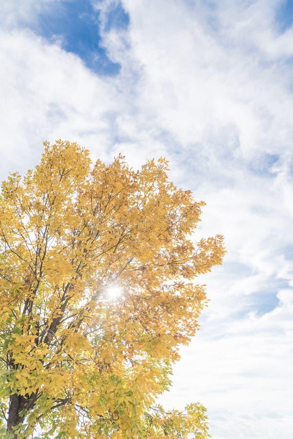 Le foglie cambianti di Texas Cedar Elm di stagione ingialliscono da verde fotografia stock libera da diritti