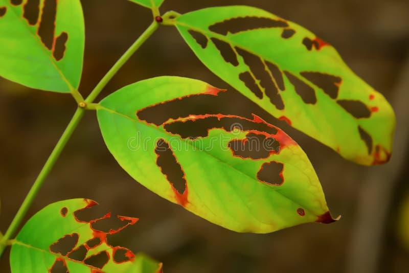 Le foglie che sono state mangiate dal verme fotografia stock