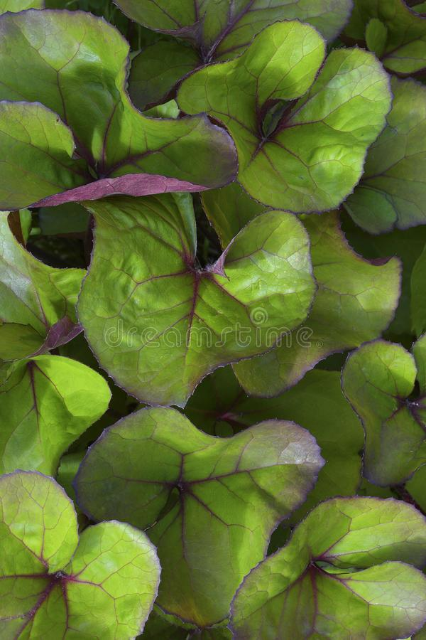 le foglie degli arbusti ornamentali di botulino fotografia stock