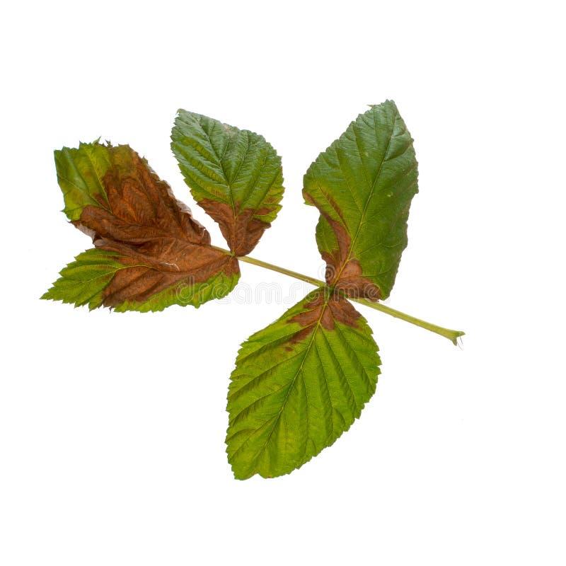 Le foglie del lampone hanno girato fresco e marrone, probabilmente nocivo dal sole ed o dalla siccità Isolato su bianco immagini stock libere da diritti