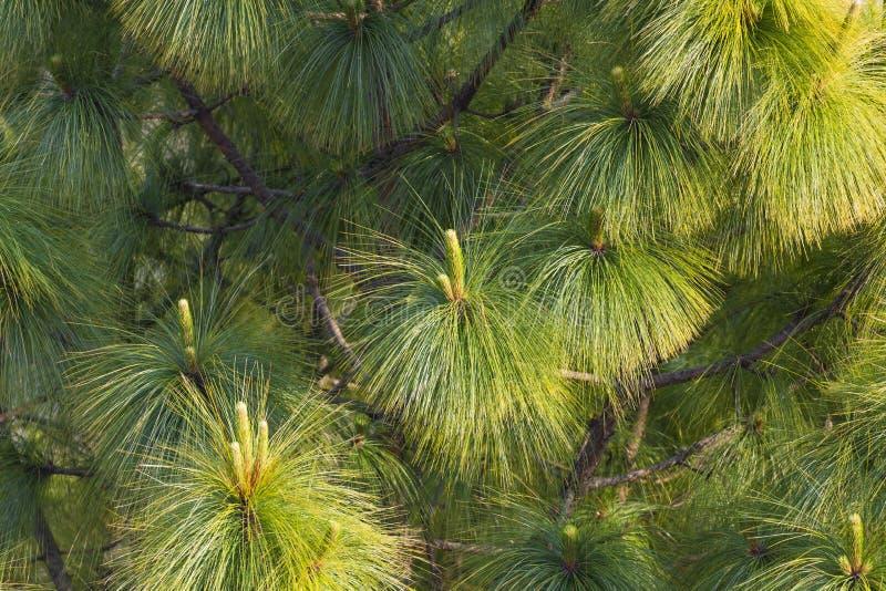 Le foglie del pino si chiudono su fotografia stock libera da diritti