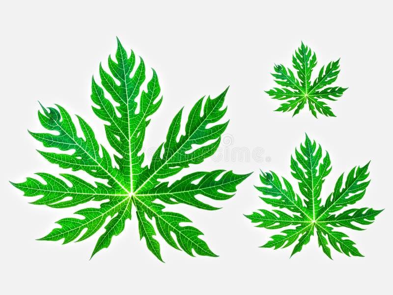 Le foglie dell'albero di papaia hanno dimensioni differenti fotografia stock