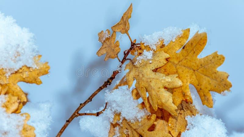 Le foglie dell'arancia hanno sopravvissuto all'inverno fotografia stock